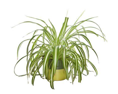گیاه کلروفیتوم (گل گندمی)